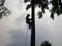 arborist climbing up a tree to trim with cloudy sky in background