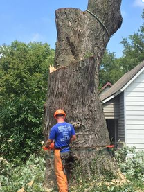 guy wearing chaps cutting base of a very large tree, the rest of the tree is already cut down